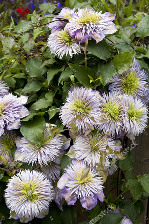 Clematis, Eden Project, Cornwall, Britain