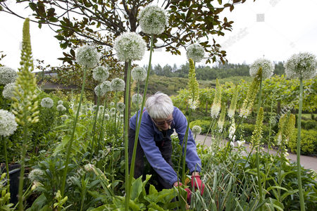 Rosilly Ricard pruning 'Mont Alliums' at the Eden Project in Cornwall, England, Britain