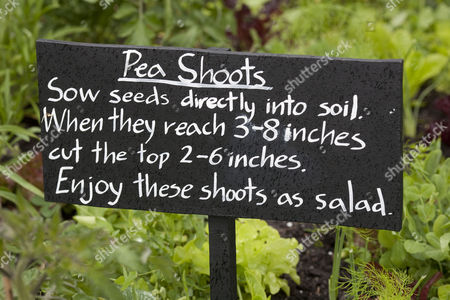 Peas shoots growing, Eden Project in Cornwall, England, Britain