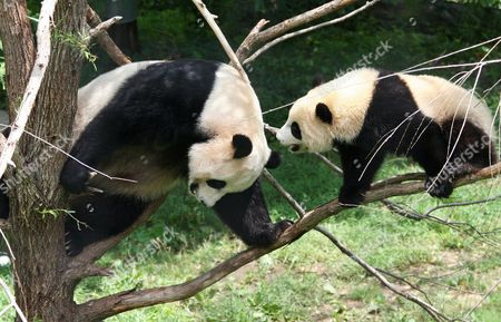 Mum Mei Jiang and her Tai Shan climbing on the tree branches