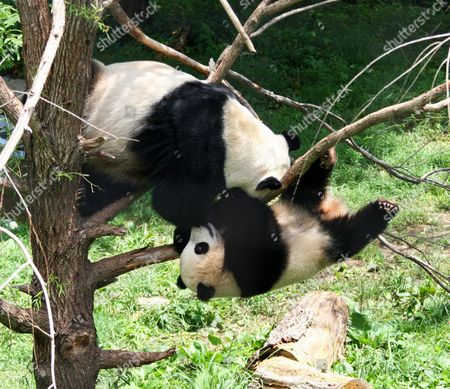 Mum Mei Jiang grabs hold of her son Tai Shan as he starts to fall off the tree branch