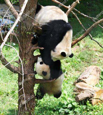 Mum Mei Jiang grabs hold of her son Tai Shan as he falls off the tree branch