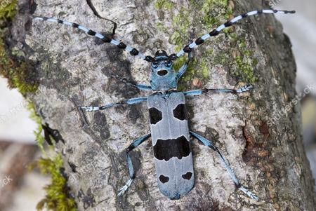 Stock Picture of Rosalia longicorn (Rosalia alpina), insect, Nationalpark Kalkalpen or Kalkalpen National Park, Upper Austria, Europe