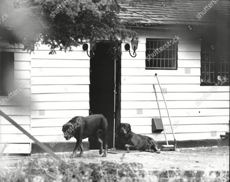 Stock Photo of (brinksmat) Brink's Mat Robbery Background Rottweiler Dogs 'brinks And Mat' On Guard At Turpington Farm Southborough Lane Bromley Home Of Kathleen Mcavoy (mrs Michael Mcavoy)