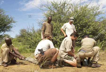 Steve Leonard (kneeling) helps in the relocation of five of the Parks crocodiles