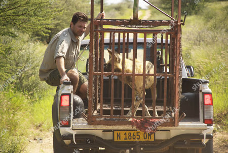 Steve Leonard helps in the relocation of a rare wild painted dog in the Erindi Game Park, Namibia