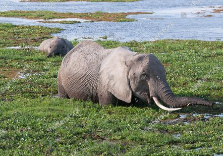 Elephants wading through water in Amboseli National Park, Kenya by Adrian Hough