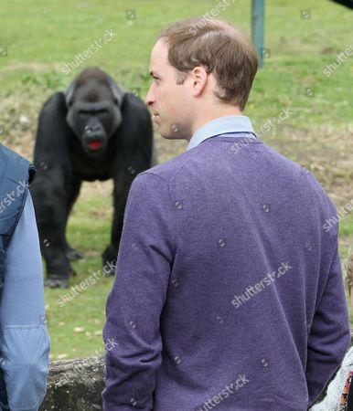 Stock Image of Prince William visits the Gorilla enclosure