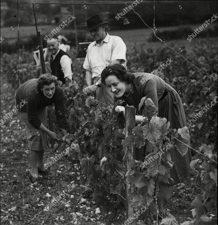 Mill Down Hambledon Hampshire. Country Home Of Major General Sir Guy Salisbury-jones Marshal Of The Diplomatic Corp. Sir Guy (in The Hat) Prepares The Grapes For Wine With His Wife Lady Salisbury Jones (left) And Their 19 Year Old Daughter Mariette.