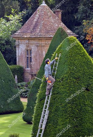 Stock Picture of Patrick Cooke up a ladder trimming one of the 30ft high yew tree pyramids