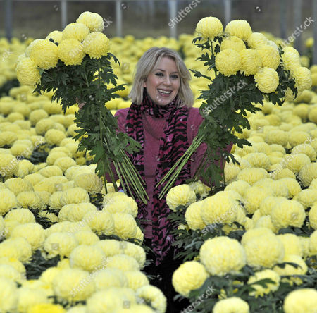 Stock Image of Mail Writer Ticky Hedley-dent (pictured) Visits One Of The Uk's Last Chrysanthemum Growers.- Grower Trevor Lawerence On His Farm Near Holmes Chapel Cheshire.