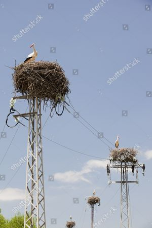 White Storks (Ciconia ciconia) nesting on electricity pylons in the Coto Donana in Andalucia, Spain.