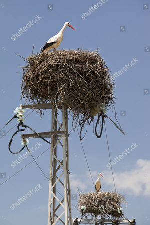 Stock Picture of White Storks (Ciconia ciconia) nesting on electricity pylons in the Coto Donana in Andalucia, Spain.