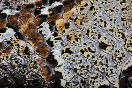 Rhinoceros Horned Viper, Riverjack or Horned Puff Adder (Bitis nasicornis), venomous snake, skin detail, native to Africa, in captivity, Germany
