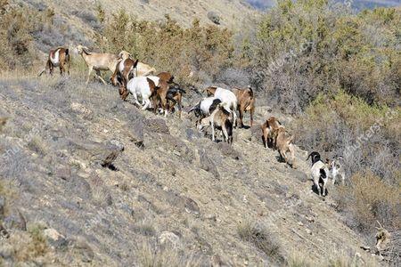Herd of goats in the Adobe Buttes, George Creek Road, Eckert near Cedaredge, Colorado, USA
