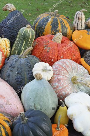 Stock Picture of Selection of different varieties of pumpkin in autumn, Styrian Oil Pumpkin, Chicago Warted Hubbard, Red Wart, Barbara Butternut, Turkish Turban, Hubbard Blue Ballet, Patisson or Pattypan Squash