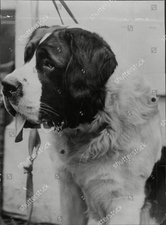 Editorial picture of Kensington Canine Society Dog Show At Crystal Palace Mrs A.j. Woodcroft's 1st Prize St Bernard 'knight Of The Garter' Date Unknown.