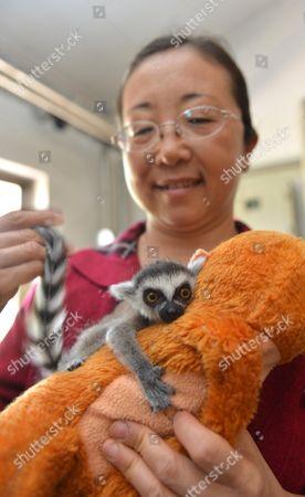 Keeper Ding Ming with baby lemur Niu Niu