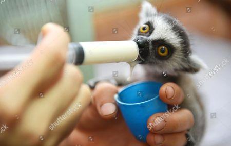 Keeper Ding Ming feeding baby lemur Niu Niu
