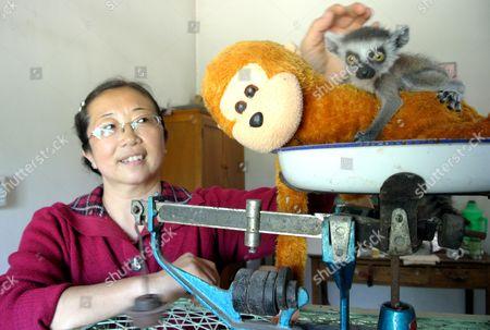 Keeper Ding Ming weighing baby lemur Niu Niu