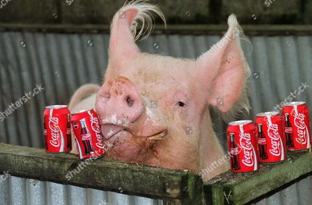 Stock Image of WILLY THE PIG WHICH DRINKS COKE
