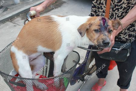Niu Niu the dog and its head wound