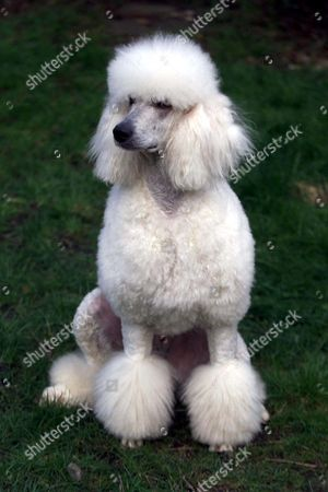 POLO,THE STANDARD POODLE, AND FATHER TO LABRADOODLES