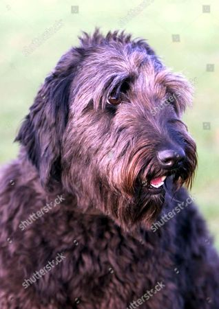 JESS, THE 2YR OLD LABRADOODLE BRED BY MARY ROOK FROM PORLOCK, SOMERSET