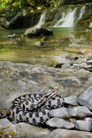 Asp Viper (Vipera aspis) adult, basking on rocks near stream habitat, Italy