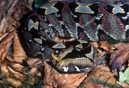 Stock Photo of Snake - Viper Rhinoceros (Bitis nasicornis) head / on dead leaves