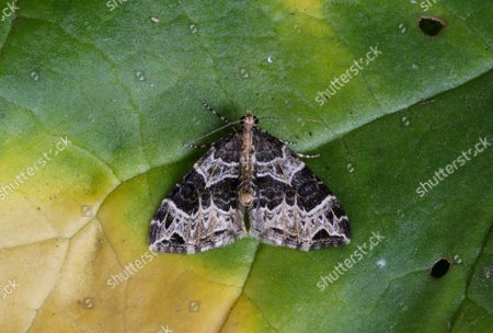 Stock Picture of Small Phoenix (Ecliptopera silaceata) adult, resting on leaf, Norfolk, England