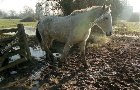 ONE OF MOHAMMED AFZAL ASHRAF'S PONIES LEFT STRANDED IN FLOODED FIELDS