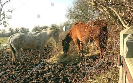 Stock Image of TWO OF MOHAMMED AFZAL ASHRAF'S PONIES LEFT STRANDED IN FLOODED FIELDS. THESE NEGLECTED ANIMALS WERE RESCUED BY THE RSPCA
