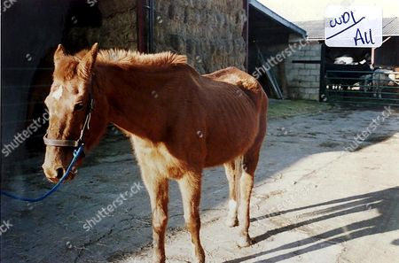 Stock Photo of ONE OF MOHAMMED AFZAL ASHRAF'S PONIES NAMED CLARITA WITH HER RIB CAGE CLEARLY SHOWING AFTER BEING STARVED