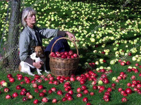 Stock Image of APPLE HARVESTING TIME....DIANA TEMPERLEY BEGINS THE HUGE TASK OF GATHERING IN THE KINGSTON BLACK APPLES NEAR MARTOCK IN SOMERSET WHERE HER HUSBAND JULIAN RUNS HIS SUCCESSFUL CIDER MAKING BUSINESS