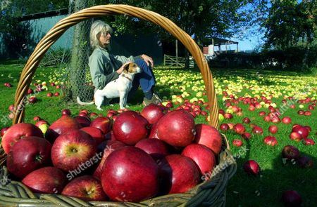 Stock Photo of APPLE HARVESTING TIME....DIANA TEMPERLEY BEGINS THE HUGE TASK OF GATHERING IN THE KINGSTON BLACK APPLES NEAR MARTOCK IN SOMERSET WHERE HER HUSBAND JULIAN RUNS HIS SUCCESSFUL CIDER MAKING BUSINESS
