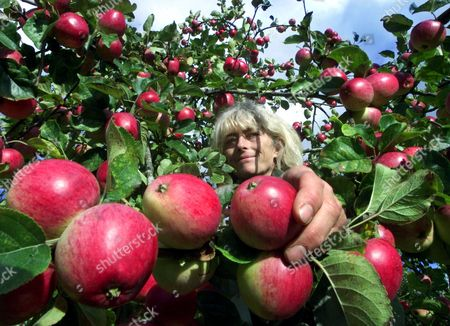 Editorial picture of HARVESTING APPLES IN MARTOCK, SOMERSET, BRITAIN - 15 OCT 2001