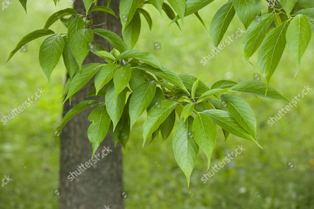 Hardy Rubber Tree (Eucommia ulmoides), leaves, native to central China