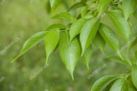 Stock Photo of Hardy Rubber Tree (Eucommia ulmoides), leaves, native to central China