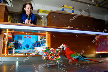 Green wing macaw Zico pushes along a trolley full of Lego as Amber Dixon looks on
