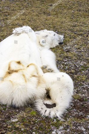 A male Polar Bear (Ursus maritimus) starved to death as a consequence of climate change. This male Polar Bear was last tracked by the Norwegian Polar Institute in April 2013 in southern Svalbard. The bear was found on an Arctic cruise with world Polar Bear scientist, Ian Stirling. Polar bears need sea ice to hunt their main prey, seals. The winter of 2012/13 was one of the worst on record for sea ice extent.