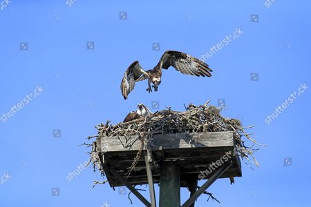 Osprey (Pandion haliaetus carolinensis) adult pair with chicks, in flight and sitting at nest on manmade platform, Sanibel Island, Florida, U.S.A.