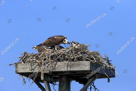 Osprey (Pandion haliaetus carolinensis) adult feeding chicks, at nest on manmade platform, Sanibel Island, Florida, U.S.A.