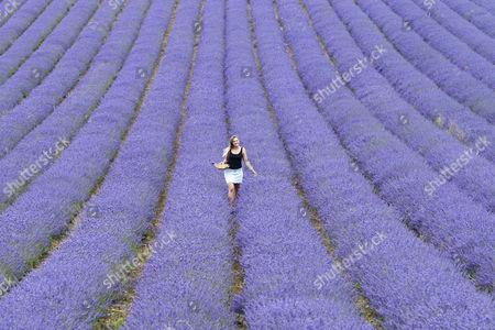 Stock Photo of Daniella Masters (19) picks lavender bunches