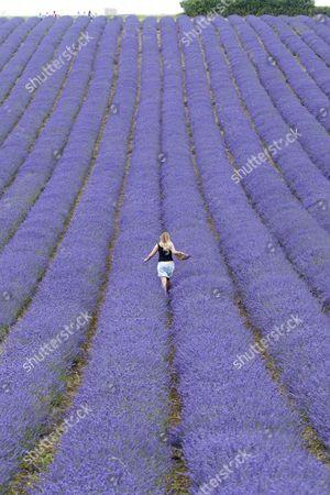 Editorial image of Lavender field at Lordington Lavender farm, West Sussex, Britain - 09 Jul 2014