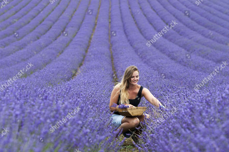 Daniella Masters (19) picks lavender bunches