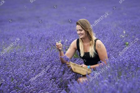 Stock Image of Daniella Masters (19) picks lavender bunches