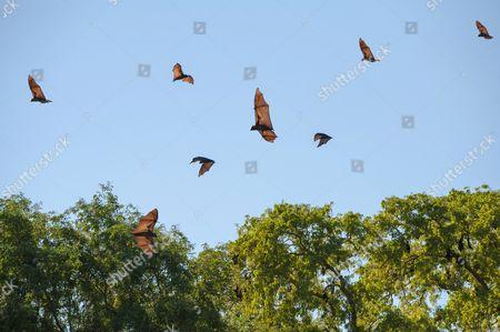 Madagascar Flying Foxes (Pteropus rufus) in flight, Toliara Province, Madagascar