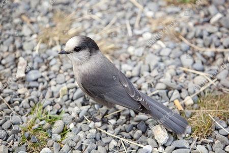 Gray Jay, also Grey Jay, Canada Jay, or Whiskey Jack (Perisoreus canadensis), Yukon Territory, Canada