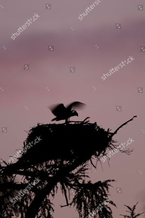 Osprey (Pandion haliaetus) chick, stretching and flapping wings at nest in tree, silhouetted at dusk, Cairngorms N.P., Inverness-shire, Highlands, Scotland, July